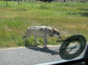 Animal Wildlife Refuge where our spare tire cover was stolen by wolf!